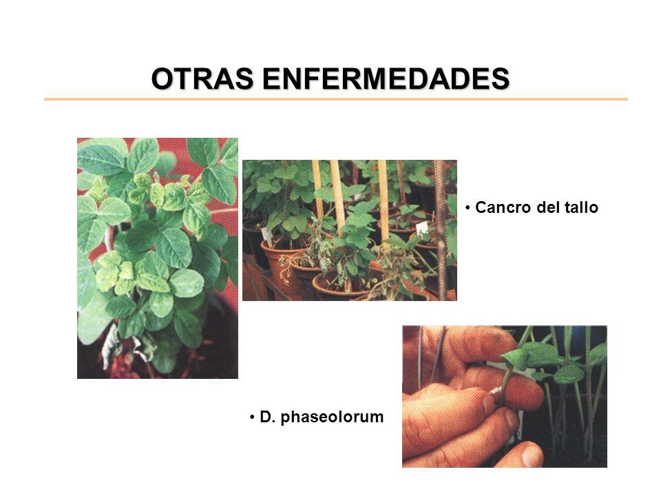 OTRAS ENFERMEDADES D. phaseolorum Cancro del tallo