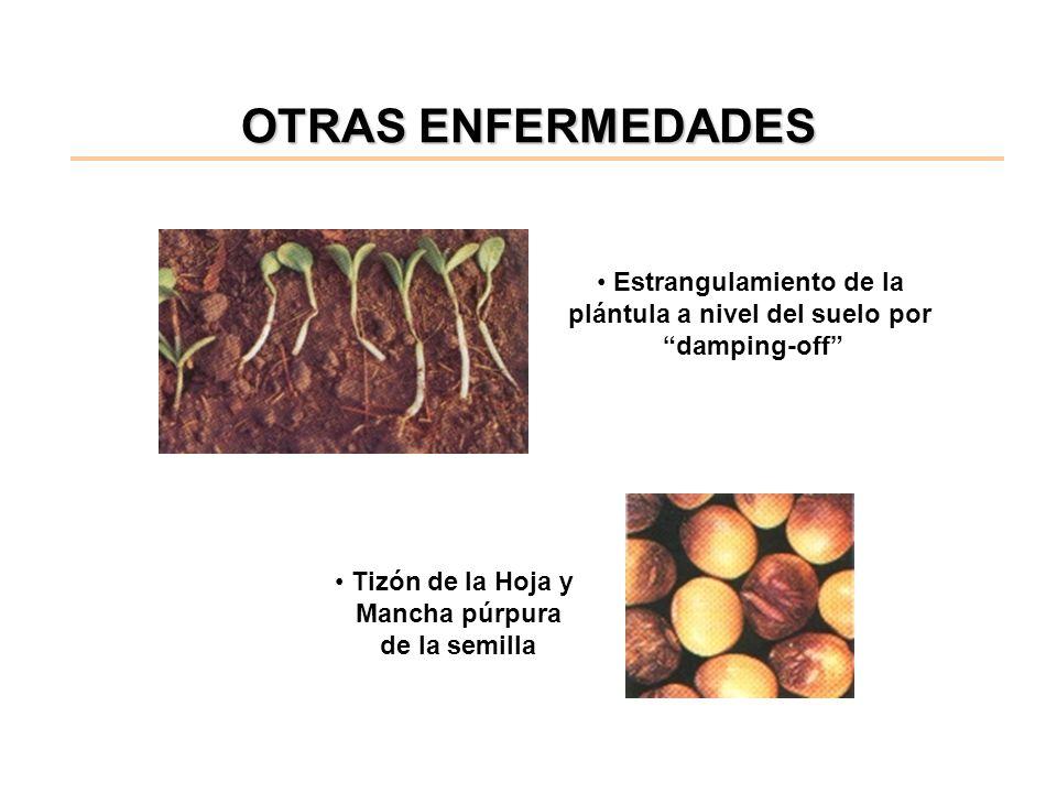 OTRAS ENFERMEDADES Tizón de la Hoja y Mancha púrpura de la semilla Estrangulamiento de la plántula a nivel del suelo por damping-off