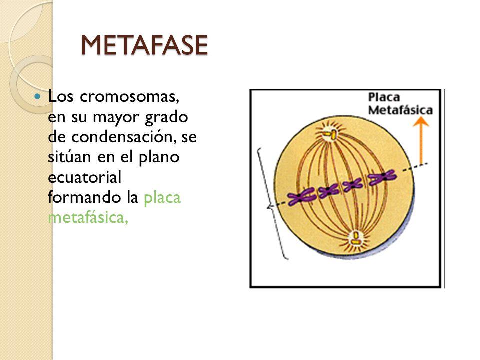 METAFASE Los cromosomas, en su mayor grado de condensación, se sitúan en el plano ecuatorial formando la placa metafásica,
