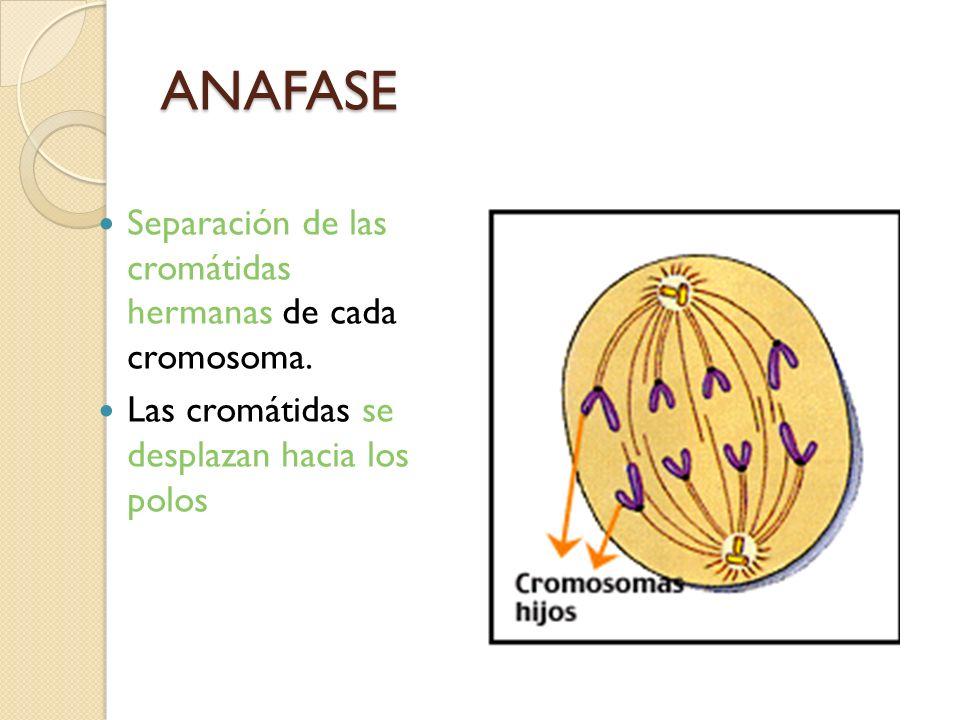 ANAFASE Separación de las cromátidas hermanas de cada cromosoma. Las cromátidas se desplazan hacia los polos