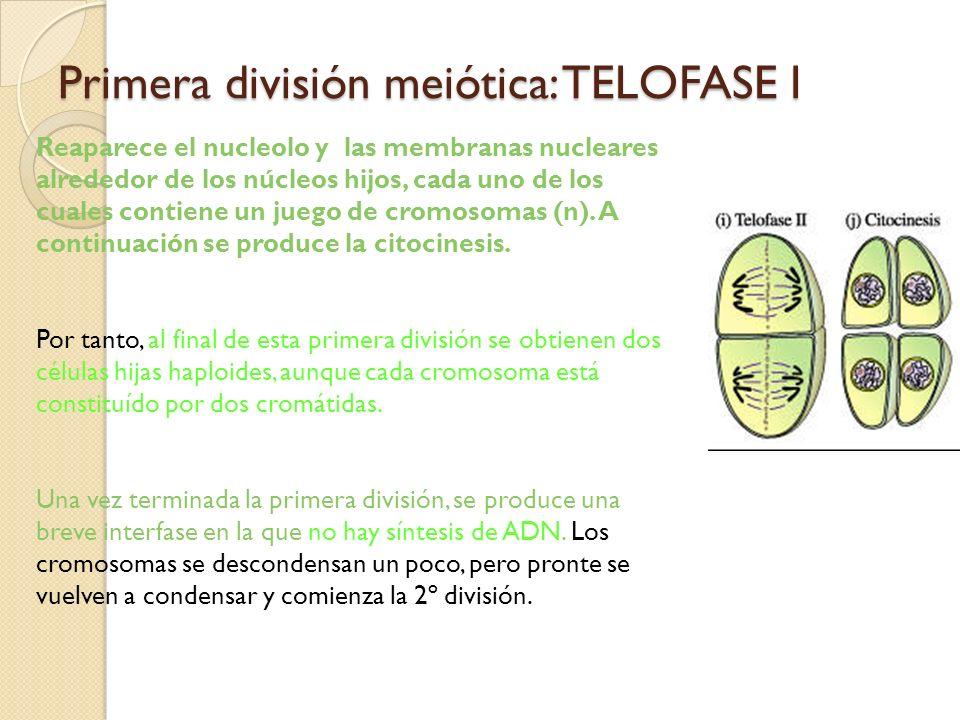 Primera división meiótica: TELOFASE I Reaparece el nucleolo y las membranas nucleares alrededor de los núcleos hijos, cada uno de los cuales contiene