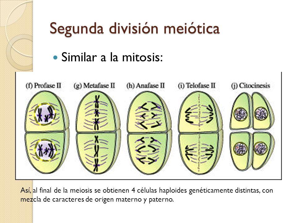Segunda división meiótica Similar a la mitosis: Así, al final de la meiosis se obtienen 4 células haploides genéticamente distintas, con mezcla de car