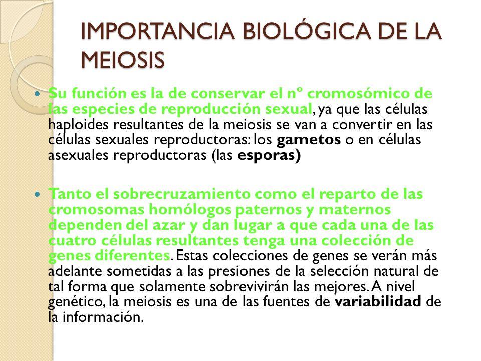 IMPORTANCIA BIOLÓGICA DE LA MEIOSIS Su función es la de conservar el nº cromosómico de las especies de reproducción sexual, ya que las células haploid