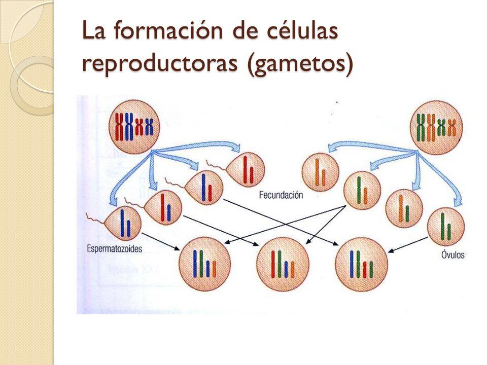 La formación de células reproductoras (gametos)