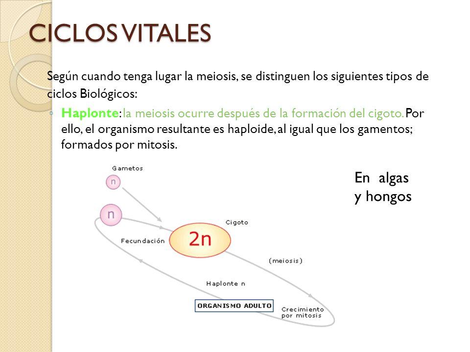 CICLOS VITALES Según cuando tenga lugar la meiosis, se distinguen los siguientes tipos de ciclos Biológicos: Haplonte: la meiosis ocurre después de la