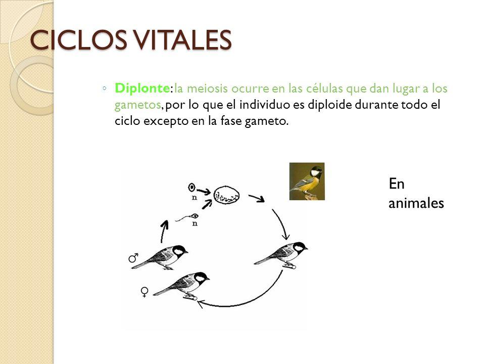 CICLOS VITALES Diplonte: la meiosis ocurre en las células que dan lugar a los gametos, por lo que el individuo es diploide durante todo el ciclo excep