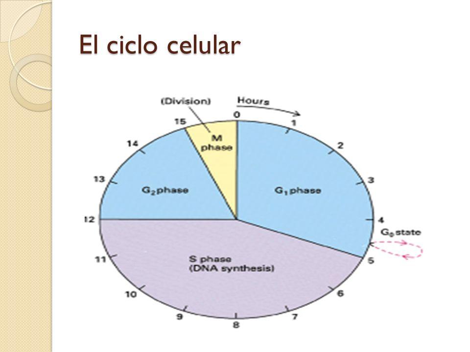 ESQUEMA DEL CICLO CELULAR DOS ETAPAS EN EL CICLO CELULAR Ciclo celular: 1- Interfase (G 1 + S + G 2 ) G 1 y G 2 = crecimiento celular S = SINTESIS DE DNA 2- Mitosis