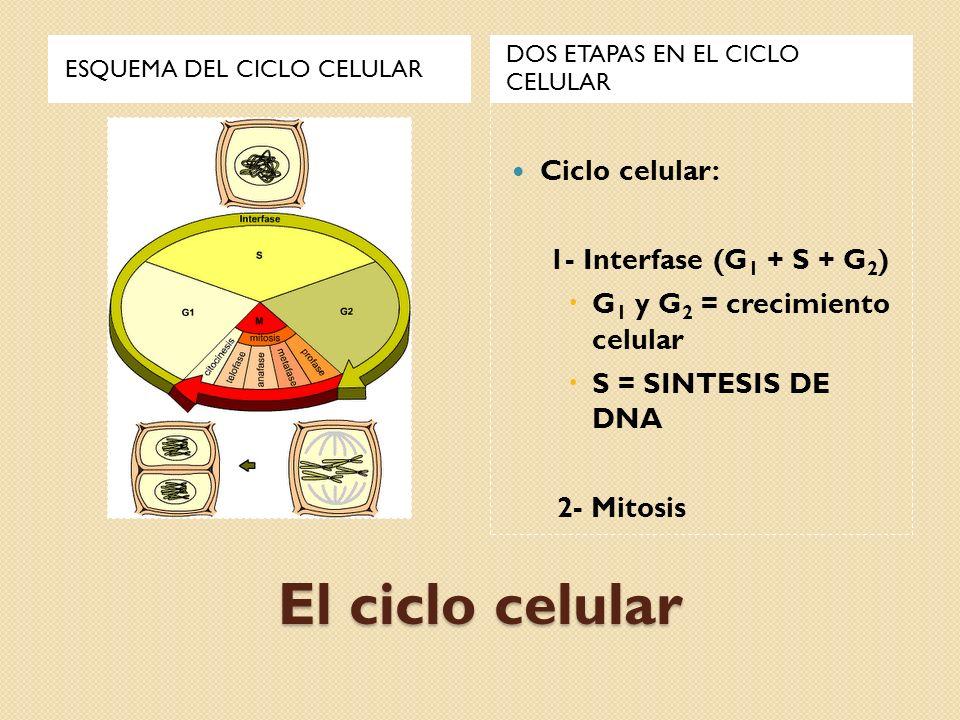 El ciclo celular Hay dos etapas diferentes, la primera es la INTERFASE o fase de crecimiento celular que es la etapa mas larga en la vida de la célula y se subdivide en G 1, donde se produce la duplicación de los orgánulos citoplasmaticos, S, donde se duplica el DNA G 2, donde la célula se prepara para dividirse