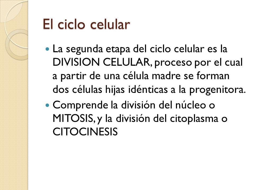 El ciclo celular La segunda etapa del ciclo celular es la DIVISION CELULAR, proceso por el cual a partir de una célula madre se forman dos células hij