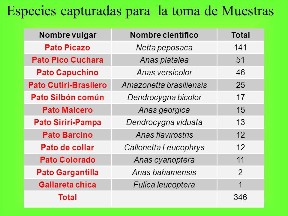 Especies capturadas para la toma de Muestras Nombre vulgarNombre científicoTotal Pato PicazoNetta peposaca141 Pato Pico CucharaAnas platalea51 Pato Ca