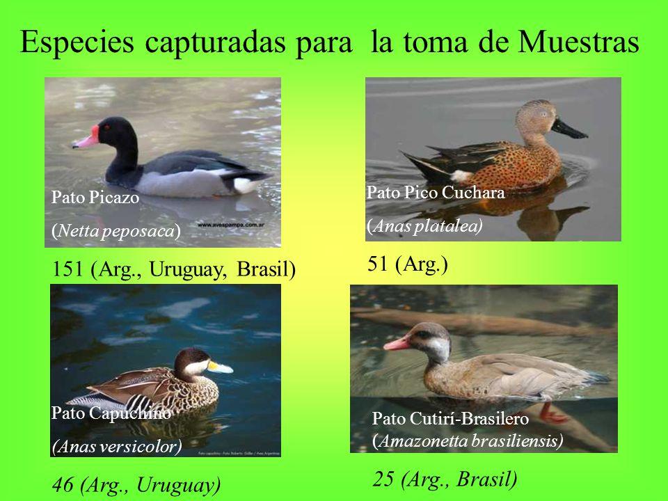 Especies capturadas para la toma de Muestras Pato Picazo (Netta peposaca) 151 (Arg., Uruguay, Brasil) Pato Pico Cuchara (Anas platalea) 51 (Arg.) Pato