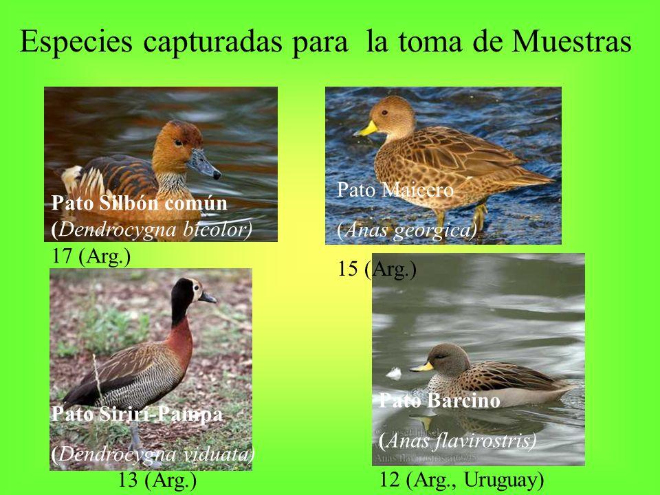 Especies capturadas para la toma de Muestras Pato Silbón común (Dendrocygna bicolor) 17 (Arg.) Pato Maicero (Anas georgica) 15 (Arg.) Pato Sirirí-Pamp
