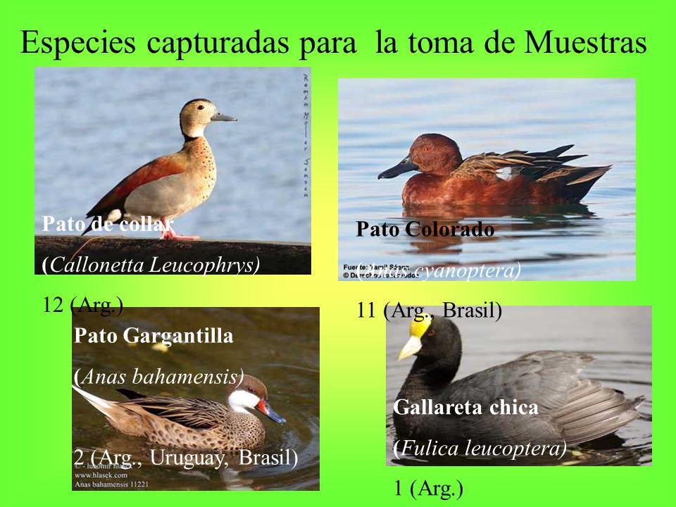 Especies capturadas para la toma de Muestras Pato de collar (Callonetta Leucophrys) 12 (Arg.) Pato Colorado (Anas cyanoptera) 11 (Arg., Brasil) Pato G