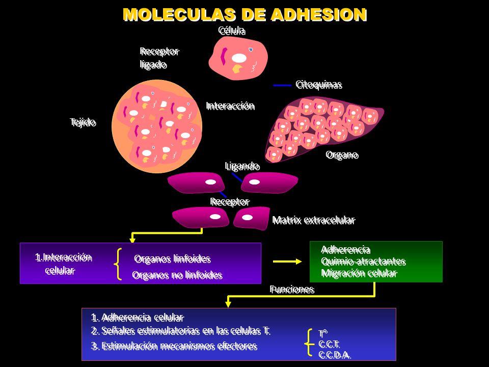 ENSAMBLAJE DE MOLÉCULAS DE MHC II Abbas A. Inmunología Celular y molecular 2012