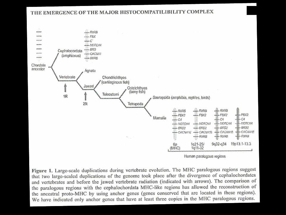 Presentación antigénica MHC II Abbas A. Inmunología Celular y molecular 2012