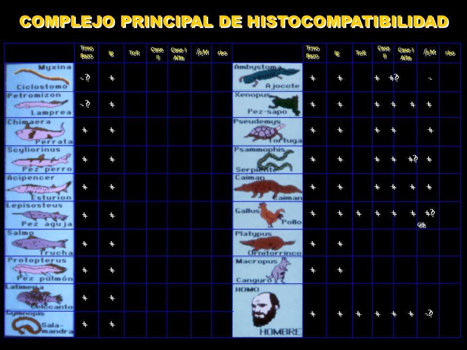COMPLEJO PRINCIPAL DE HISTOCOMPATIBILIDAD - ?+ ++ ++ + +.