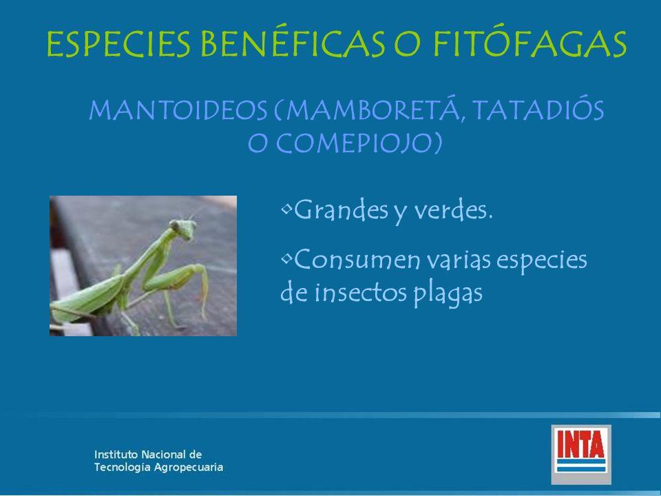 MANTOIDEOS (MAMBORETÁ, TATADIÓS O COMEPIOJO) ESPECIES BENÉFICAS O FITÓFAGAS Grandes y verdes. Consumen varias especies de insectos plagas