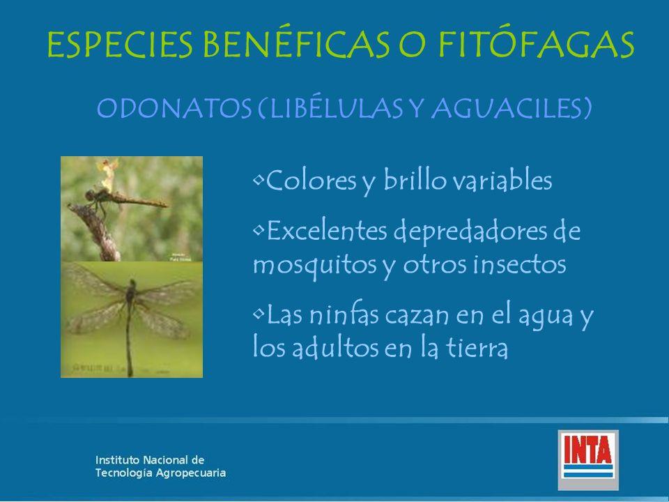 ESPECIES BENÉFICAS O FITÓFAGAS ODONATOS (LIBÉLULAS Y AGUACILES) Colores y brillo variables Excelentes depredadores de mosquitos y otros insectos Las n