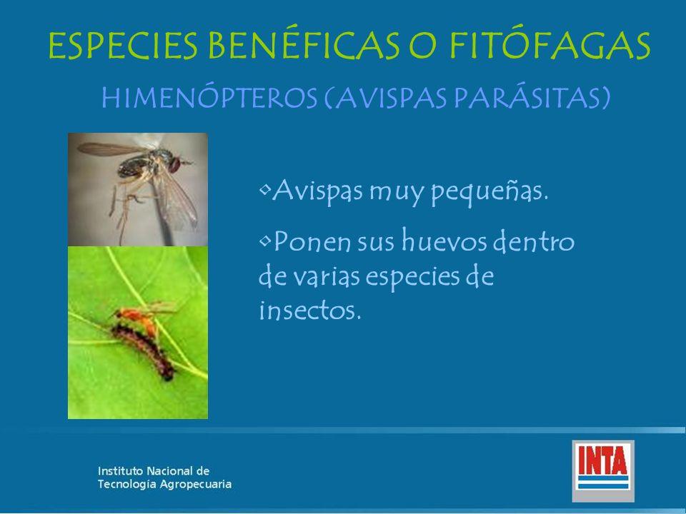 HIMENÓPTEROS (AVISPAS PARÁSITAS) ESPECIES BENÉFICAS O FITÓFAGAS Avispas muy pequeñas. Ponen sus huevos dentro de varias especies de insectos.