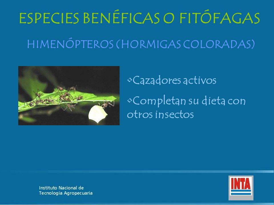 HIMENÓPTEROS (HORMIGAS COLORADAS) ESPECIES BENÉFICAS O FITÓFAGAS Cazadores activos Completan su dieta con otros insectos