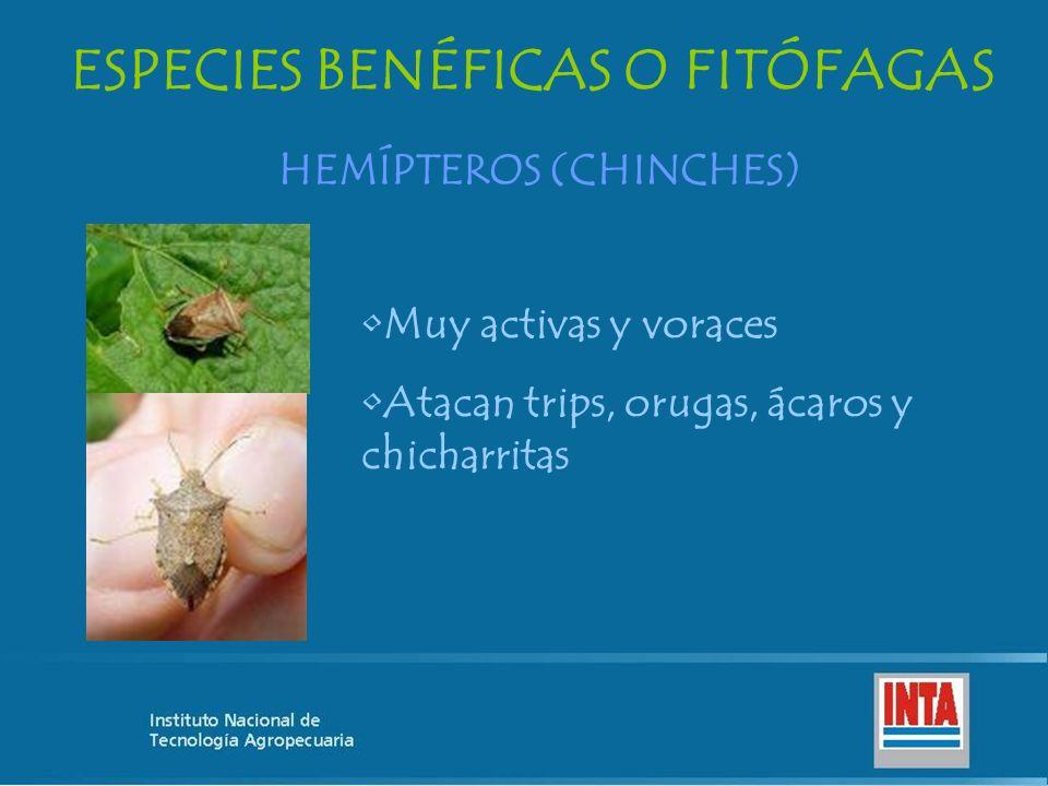 ESPECIES BENÉFICAS O FITÓFAGAS HEMÍPTEROS (CHINCHES) Muy activas y voraces Atacan trips, orugas, ácaros y chicharritas