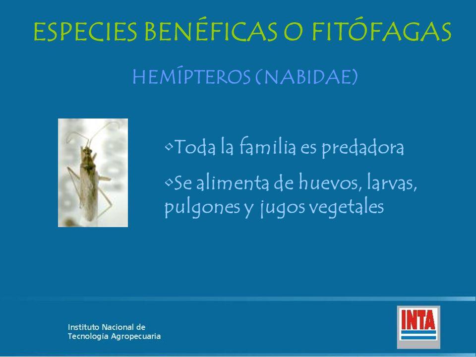 ESPECIES BENÉFICAS O FITÓFAGAS HEMÍPTEROS (NABIDAE) Toda la familia es predadora Se alimenta de huevos, larvas, pulgones y jugos vegetales