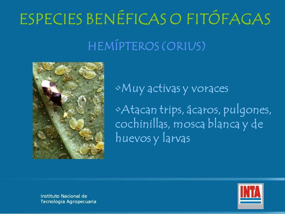 ESPECIES BENÉFICAS O FITÓFAGAS HEMÍPTEROS (ORIUS) Muy activas y voraces Atacan trips, ácaros, pulgones, cochinillas, mosca blanca y de huevos y larvas