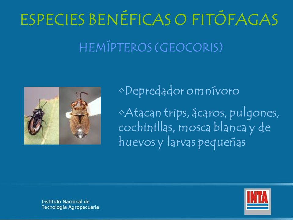 ESPECIES BENÉFICAS O FITÓFAGAS HEMÍPTEROS (GEOCORIS) Depredador omnívoro Atacan trips, ácaros, pulgones, cochinillas, mosca blanca y de huevos y larva