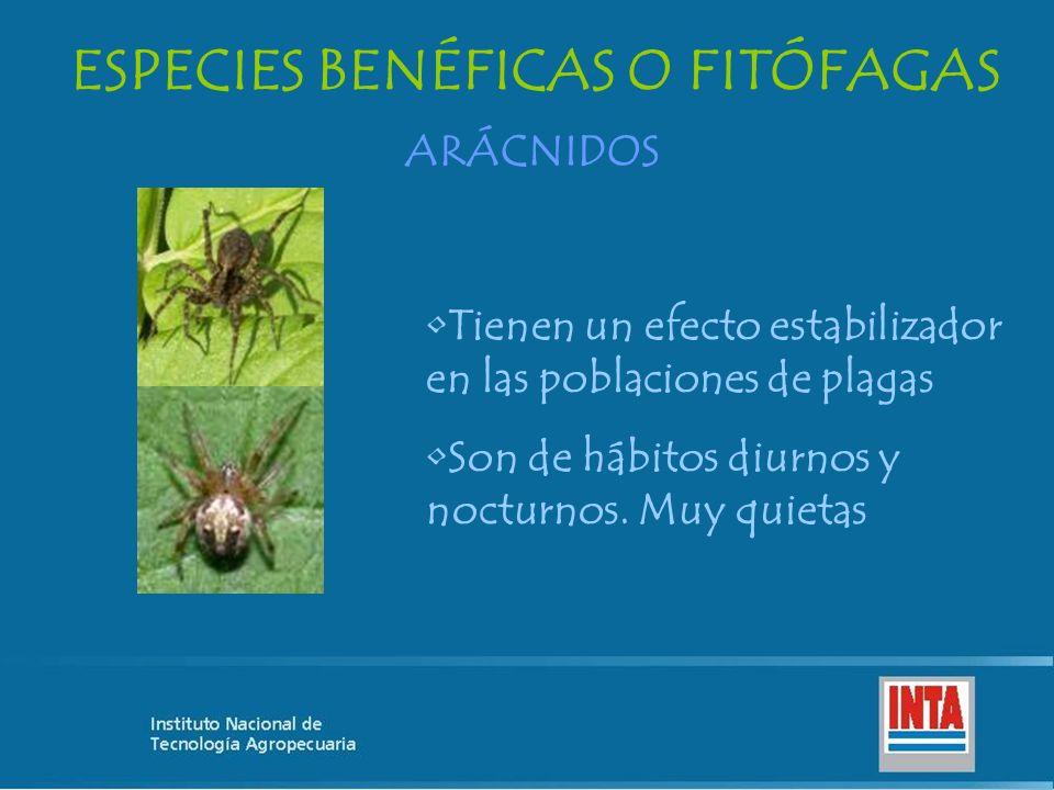 ESPECIES BENÉFICAS O FITÓFAGAS ARÁCNIDOS Tienen un efecto estabilizador en las poblaciones de plagas Son de hábitos diurnos y nocturnos. Muy quietas