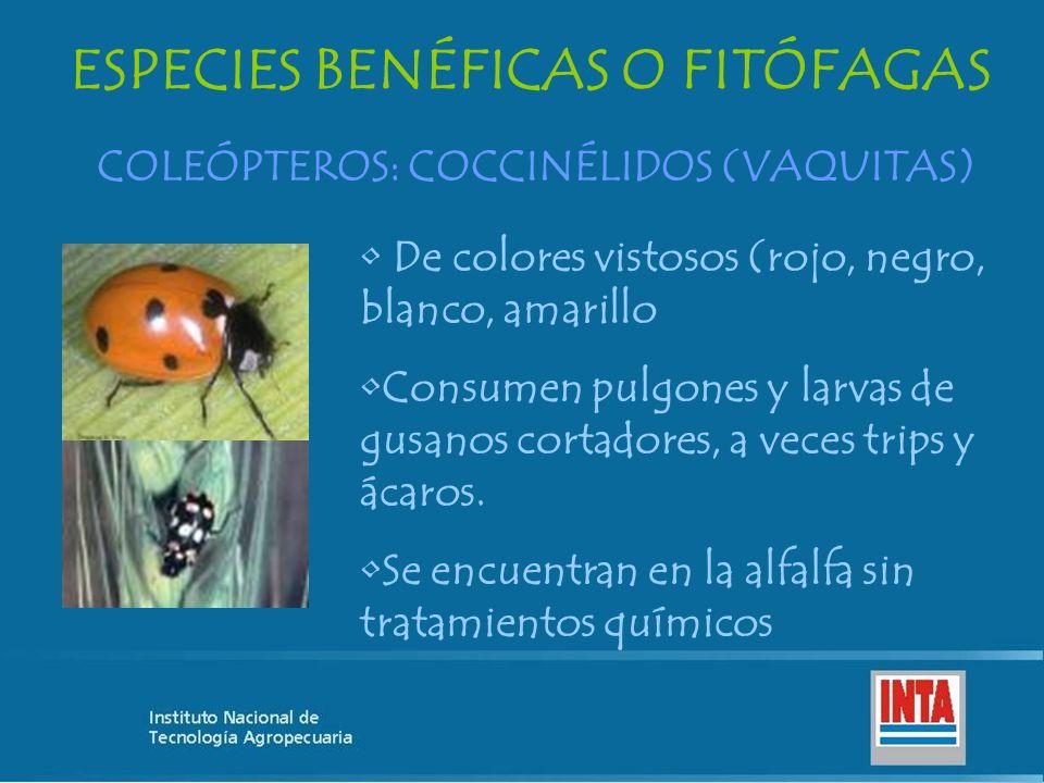 ESPECIES BENÉFICAS O FITÓFAGAS COLEÓPTEROS: COCCINÉLIDOS (VAQUITAS) De colores vistosos (rojo, negro, blanco, amarillo Consumen pulgones y larvas de g
