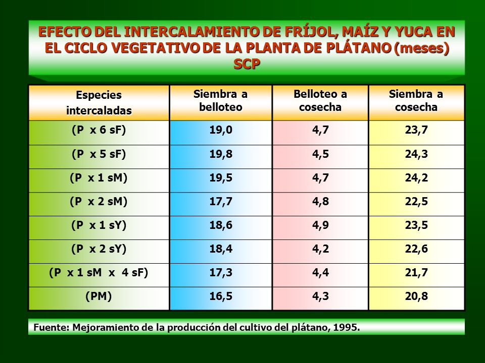 EFECTO DEL INTERCALAMIENTO DE FRÍJOL, MAÍZ Y YUCA EN EL CICLO VEGETATIVO DE LA PLANTA DE PLÁTANO (meses) SCP Especiesintercaladas Siembra a belloteo B