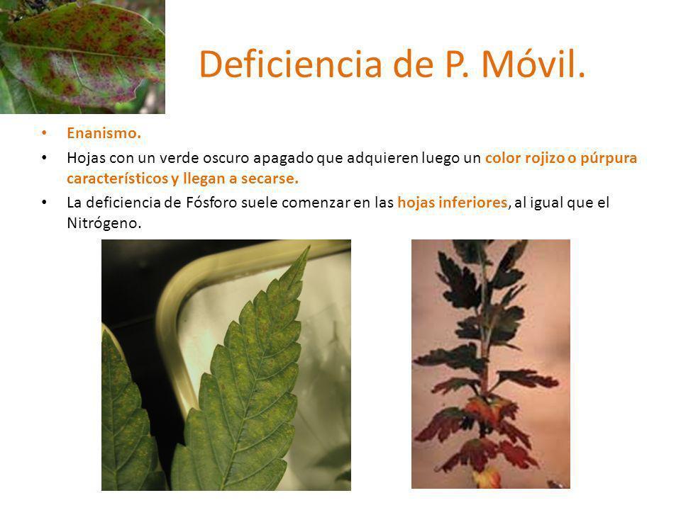 Deficiencia de P. Móvil. Enanismo. Hojas con un verde oscuro apagado que adquieren luego un color rojizo o púrpura característicos y llegan a secarse.