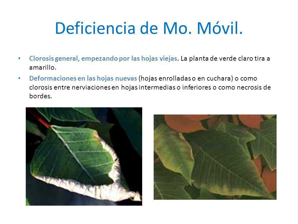 Deficiencia de Mo. Móvil. Clorosis general, empezando por las hojas viejas. La planta de verde claro tira a amarillo. Deformaciones en las hojas nueva