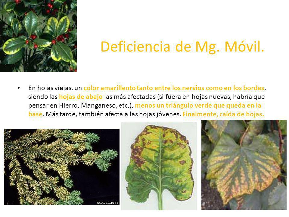 Deficiencia de Mg. Móvil. En hojas viejas, un color amarillento tanto entre los nervios como en los bordes, siendo las hojas de abajo las más afectada