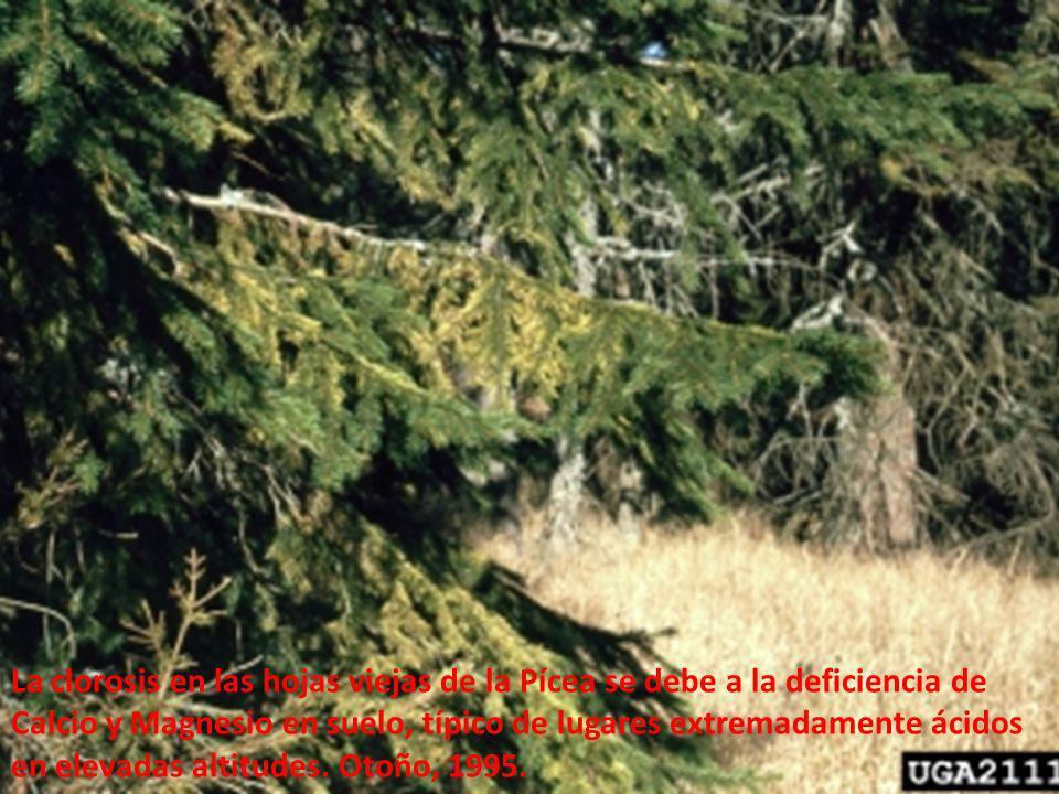 Picea abies. La clorosis en las hojas viejas de la Pícea se debe a la deficiencia de Calcio y Magnesio en suelo, típico de lugares extremadamente ácid