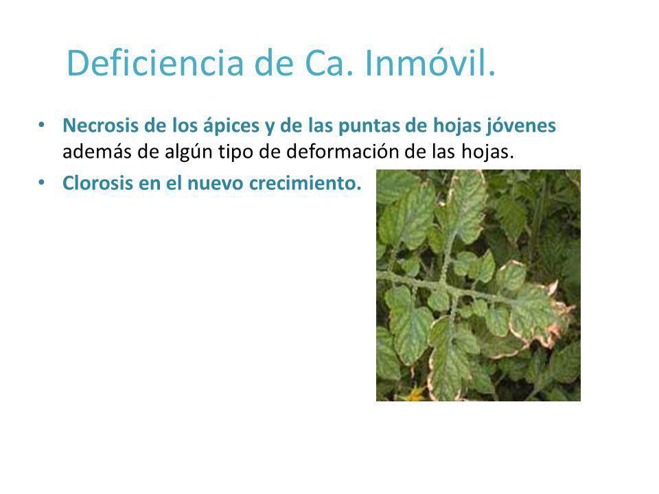 Deficiencia de Ca. Inmóvil. Necrosis de los ápices y de las puntas de hojas jóvenes además de algún tipo de deformación de las hojas. Clorosis en el n