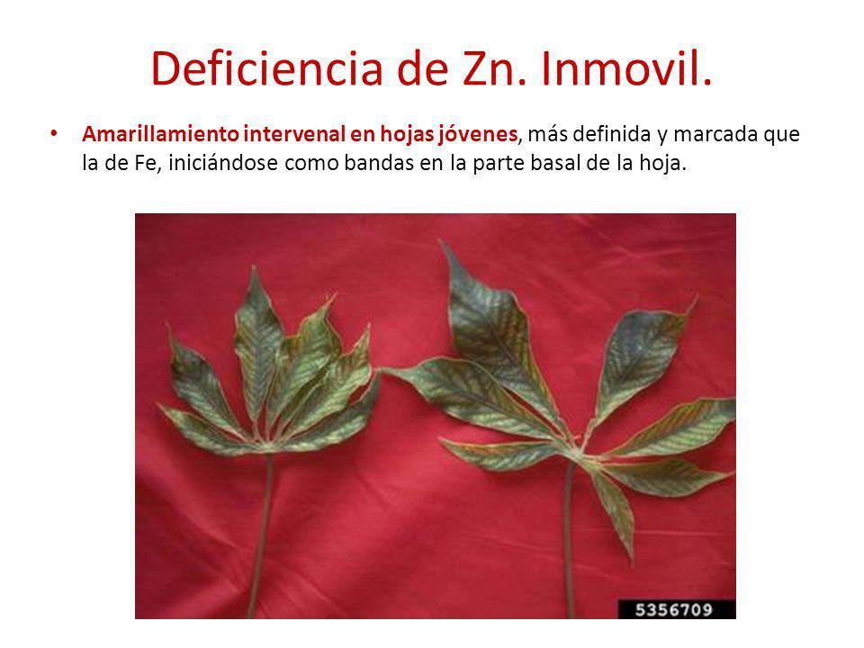 Deficiencia de Zn. Inmovil. Amarillamiento intervenal en hojas jóvenes, más definida y marcada que la de Fe, iniciándose como bandas en la parte basal