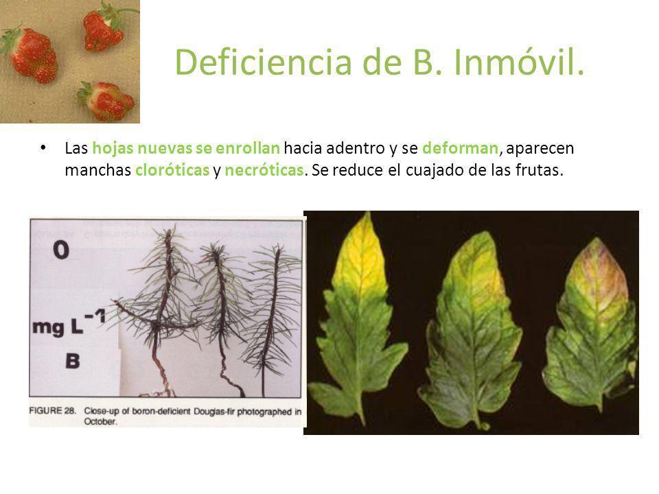 Deficiencia de B. Inmóvil. Las hojas nuevas se enrollan hacia adentro y se deforman, aparecen manchas cloróticas y necróticas. Se reduce el cuajado de