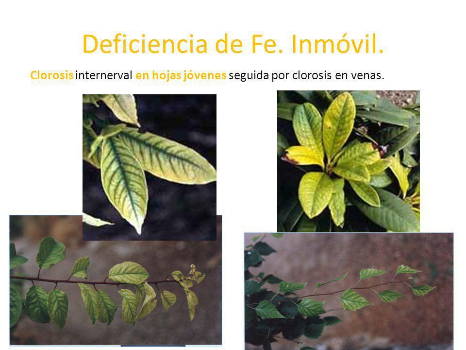 Deficiencia de Fe. Inmóvil. Clorosis internerval en hojas jóvenes seguida por clorosis en venas.