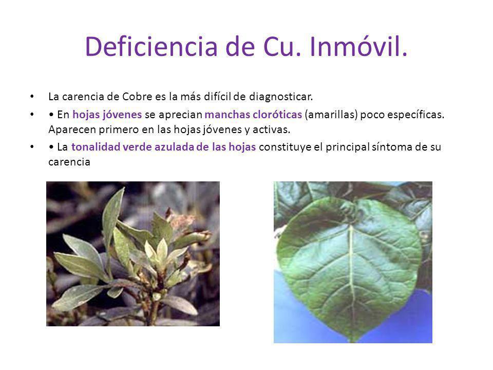 Deficiencia de Cu. Inmóvil. La carencia de Cobre es la más difícil de diagnosticar. En hojas jóvenes se aprecian manchas cloróticas (amarillas) poco e