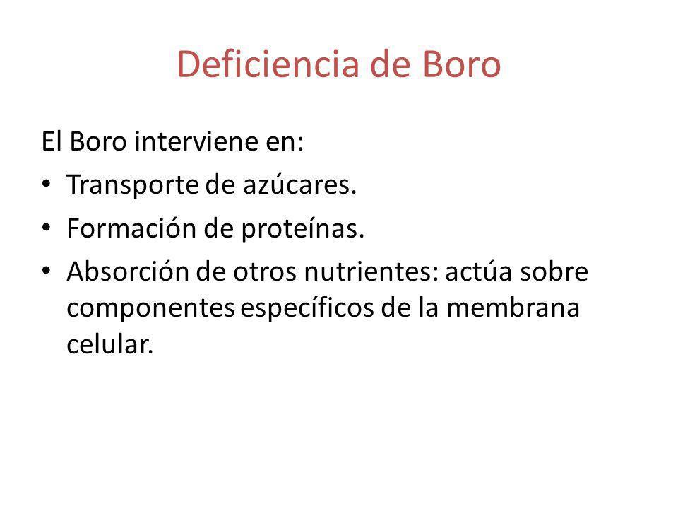 Deficiencia de Boro El Boro interviene en: Transporte de azúcares. Formación de proteínas. Absorción de otros nutrientes: actúa sobre componentes espe