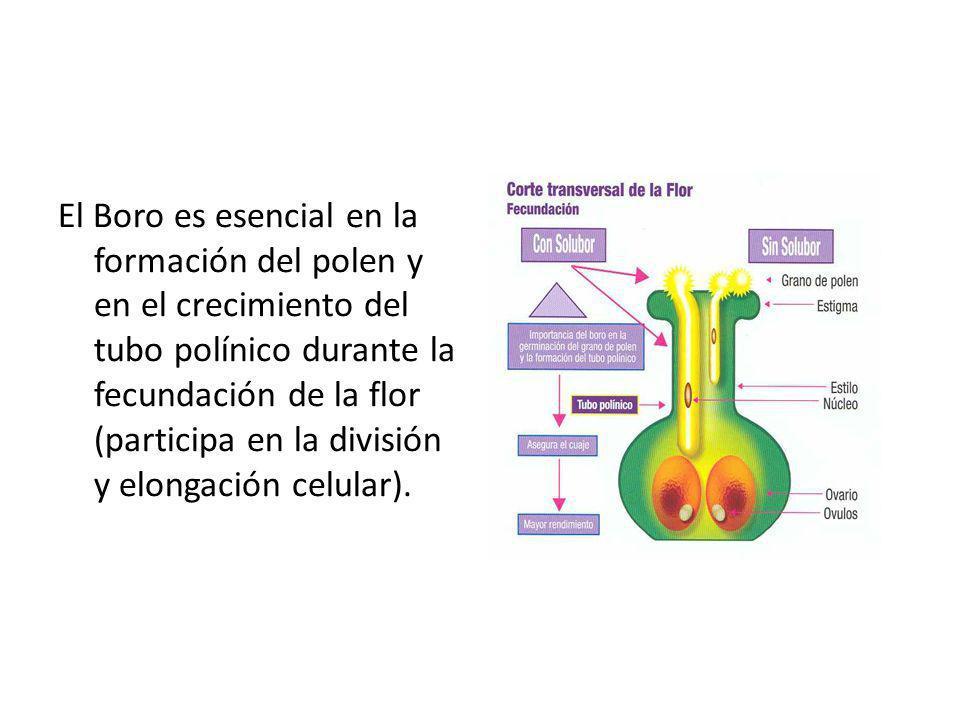 El Boro es esencial en la formación del polen y en el crecimiento del tubo polínico durante la fecundación de la flor (participa en la división y elon