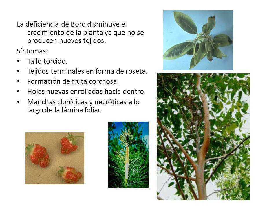 La deficiencia de Boro disminuye el crecimiento de la planta ya que no se producen nuevos tejidos. Síntomas: Tallo torcido. Tejidos terminales en form