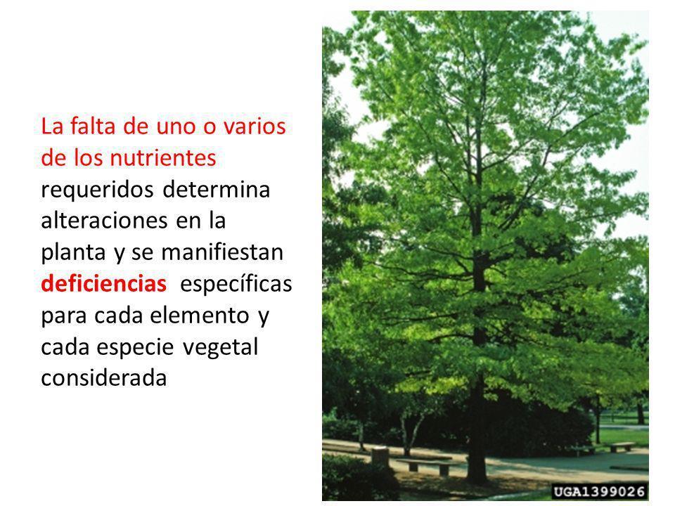 La falta de uno o varios de los nutrientes requeridos determina alteraciones en la planta y se manifiestan deficiencias específicas para cada elemento