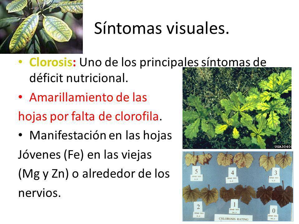 Síntomas visuales. Clorosis: Uno de los principales síntomas de déficit nutricional. Amarillamiento de las hojas por falta de clorofila. Manifestación