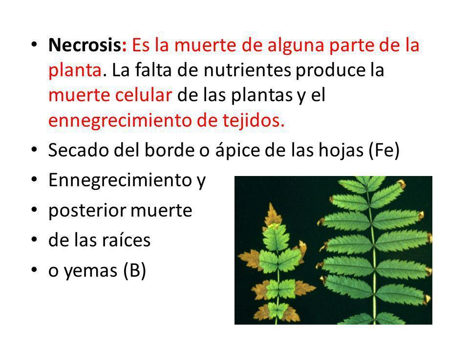 Necrosis: Es la muerte de alguna parte de la planta. La falta de nutrientes produce la muerte celular de las plantas y el ennegrecimiento de tejidos.