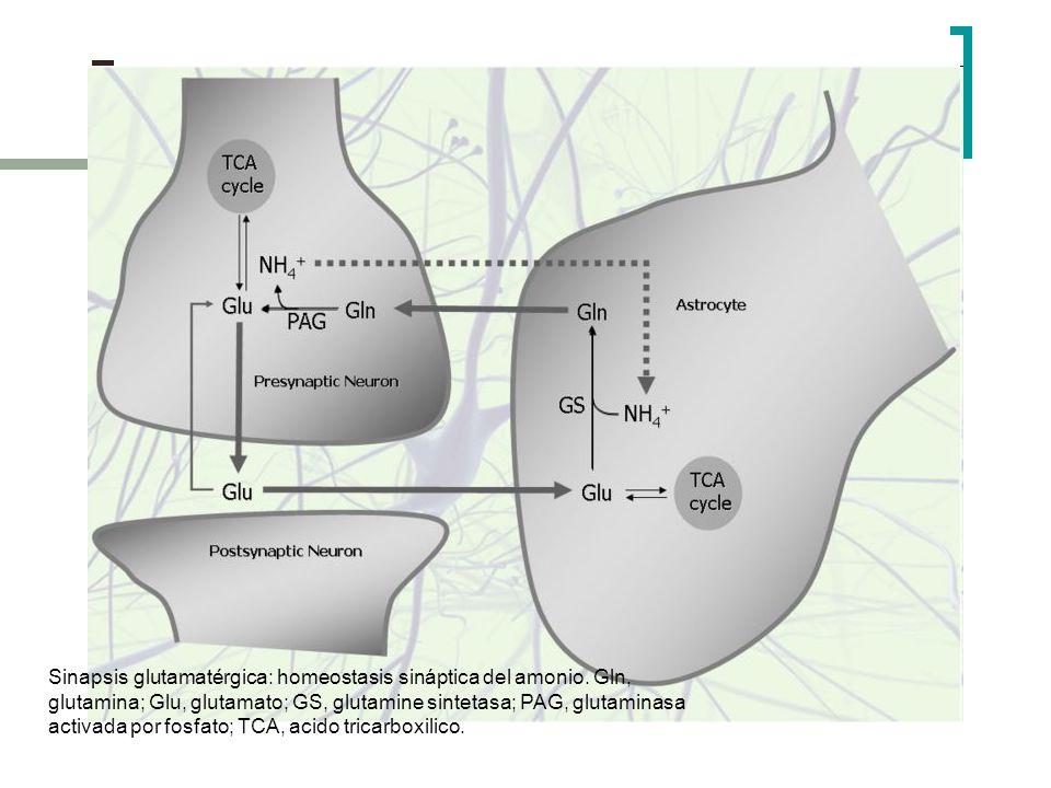 Sinapsis glutamatérgica: homeostasis sináptica del amonio. Gln, glutamina; Glu, glutamato; GS, glutamine sintetasa; PAG, glutaminasa activada por fosf