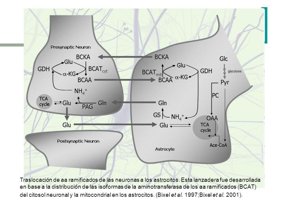 Traslocación de aa ramificados de las neuronas a los astrocitos. Esta lanzadera fue desarrollada en base a la distribución de las isoformas de la amin