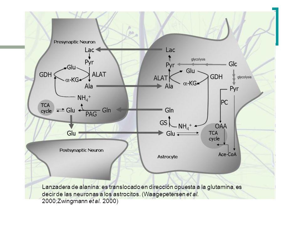 Lanzadera de alanina: es translocado en dirección opuesta a la glutamina, es decir de las neuronas a los astrocitos. (Waagepetersen et al. 2000;Zwingm