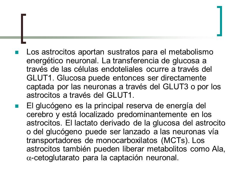 Los astrocitos aportan sustratos para el metabolismo energético neuronal. La transferencia de glucosa a través de las células endoteliales ocurre a tr